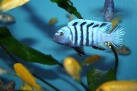 Cynotilapia afra hai reef yellow top - Aquaristik-Deals