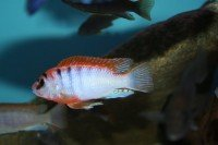 "Labidochromis sp. Hongi ""Red Top"" - Aquaristik-Deals"