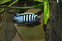 Cynotilapia afra likoma red top - Aquaristik-Deals
