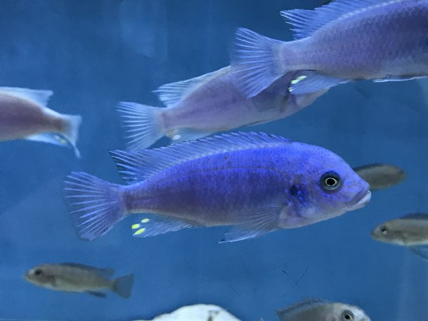 Metriaclima calloins - Aquaristik-Deals