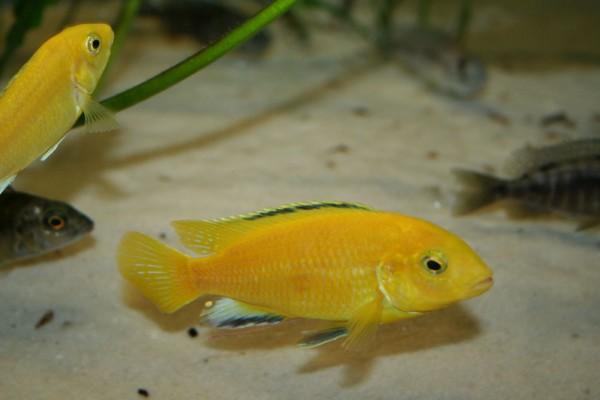 "Labidochromis caeruleus ""Yellow"" - Aquaristik-Deals"