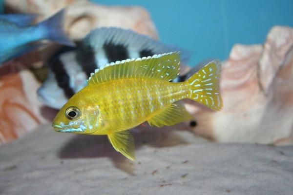 "Aulonocara sp. stuartgranti ""maleri maleri"" - Aquaristik-Deals"