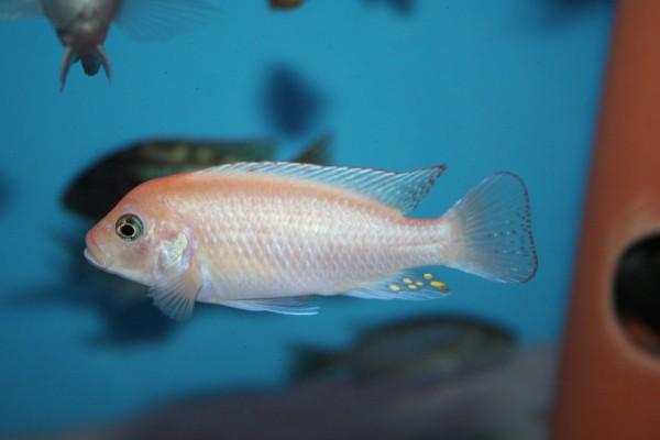 Metriaclima estherae red/red - Aquaristik-Deals