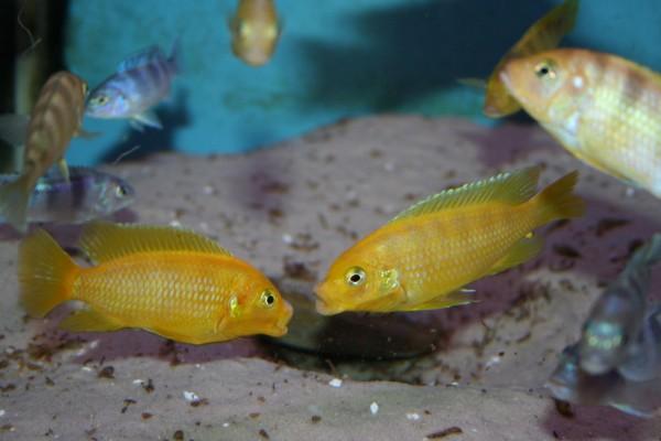 Metriaclima lombardoi - Aquaristik-Deals