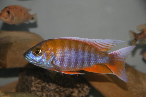 Aulonocara sp. marmalade cat - Aquaristik-Deals