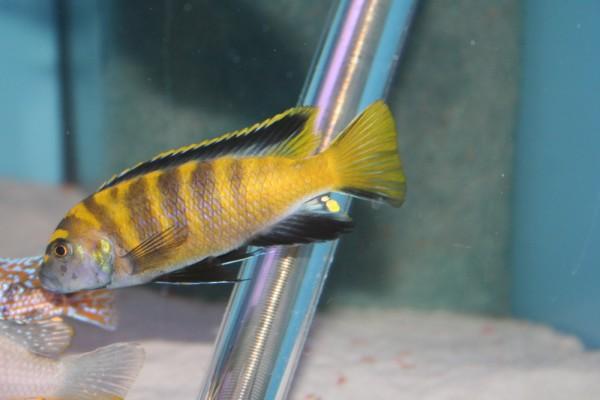 Chindongo flavus - Aquaristik-Deals