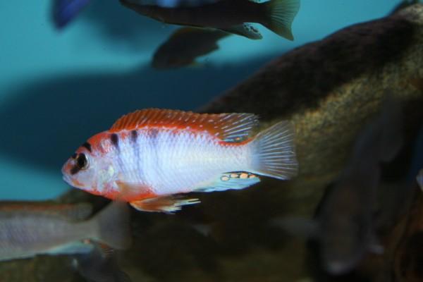 "Labidochromis sp. Hongi ""Red Top"" - Aquaristik-Deals"