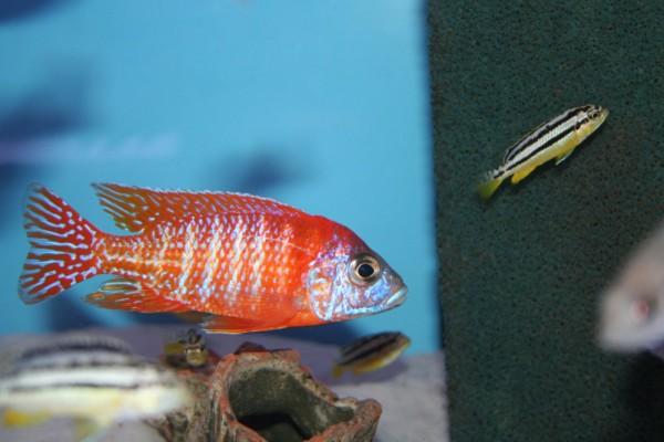 Auloncara Red Rubin - Aquaristik-Deals