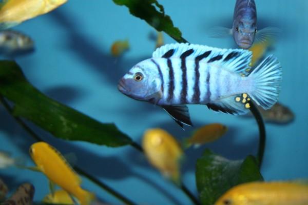 Cynotilapia afra hai reef yellow top - Aquaristik-Deals