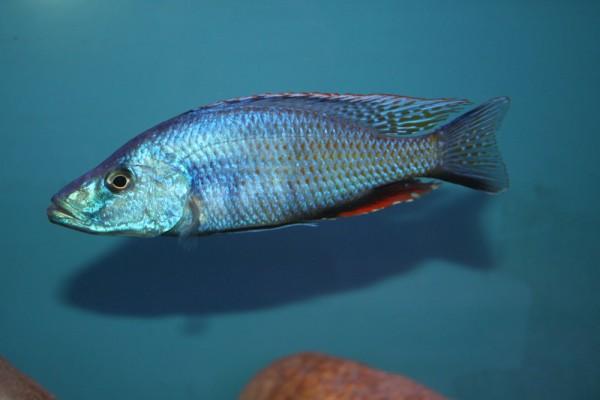 Dimidochromis compressiceps - Aquaristik.Deals