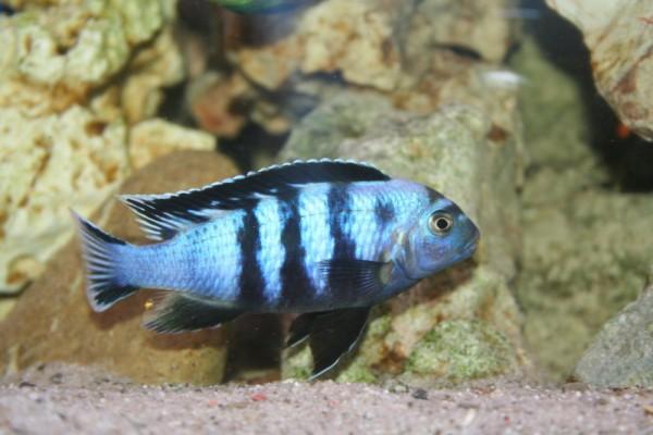 Chindongo saulosi - Aquaristik-Deals