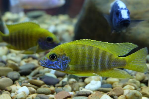 Aulonocara baenschi benga - Aquaristik-Deals
