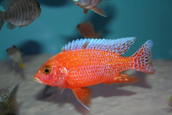 Aulonocara sp. fire fish - Aquaristik-Deals