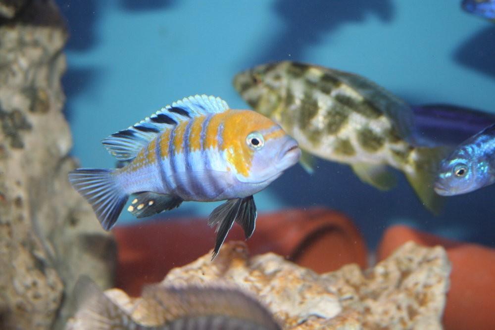 Cynotilapia afra cobue - Aquaristik-Deals