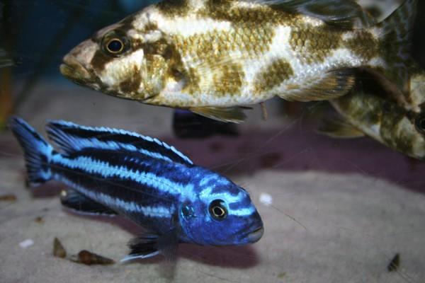 Pseudotropheus cyaneorhabdos maingano - Aquaristik-Deals