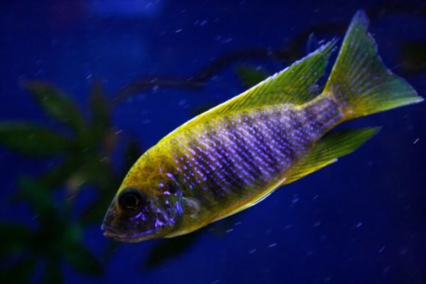 """Aulonocara sp. """"Mamelela"""" Aquaristik-Deals"""